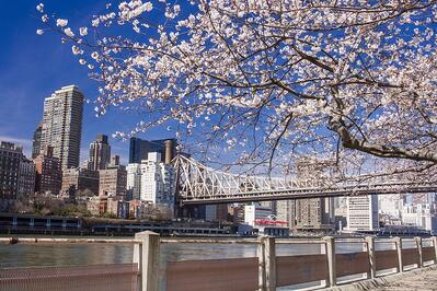 cherry_blossoms_nyc_shutterstock_633216893